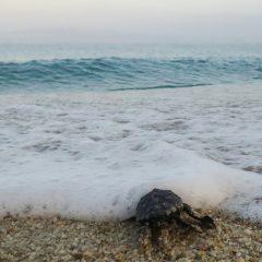 Γεννητούρια για δεκάδες χελωνάκια στο Αλυκό Νάξου (video)